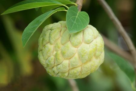 Sugar apple fruit on tree. (Annona squamosa Linn.)