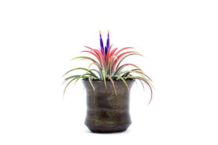 tillandsia: Tillandsia with violet flower on white background.
