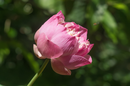 Pink lotus flower blooming in the nature. Stock Photo