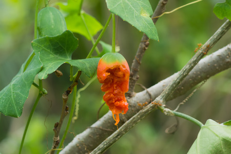 Ripe and seeds of Ivy Gourd fruit on tree. (Coccinia grandis)