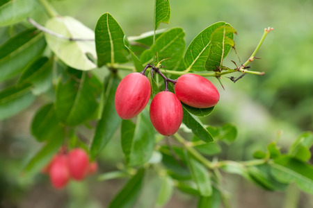 super fruit: Super fruit (Carissa carandas Linn.) on tree. Stock Photo