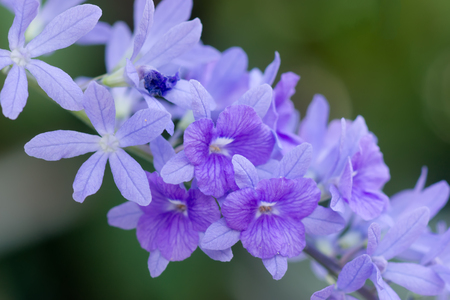 petrea: Violet flower of Petrea Flowers.