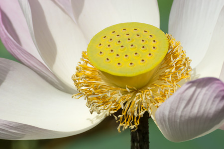 calyxes: Close up seeds and pollen of pink lotus flower are blooming in the nature.