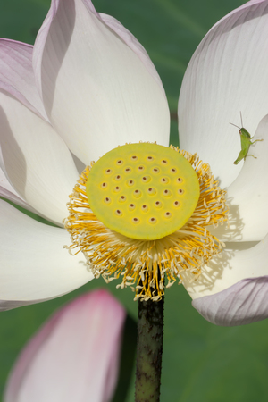 Pink and white  lotus flower blooming in the nature.