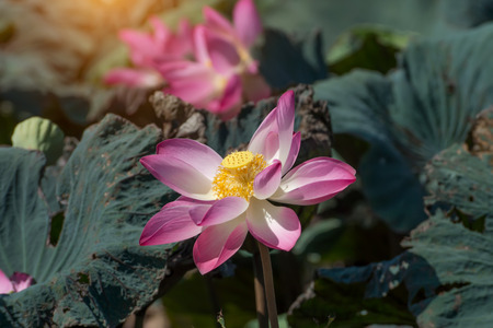 calyxes: Pink lotus flower blooming in the nature. Stock Photo