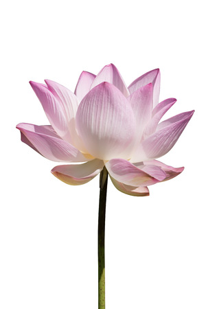calyxes: Pink and white  lotus flower blooming on white background.