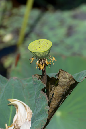 seed of lotus flower in the nature. Stock Photo