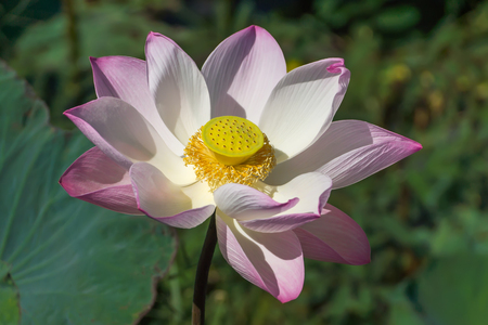 calyxes: Pink and white  lotus flower blooming in the nature.