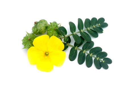 Tribulus terrestris plant with flower and leaf on white background.