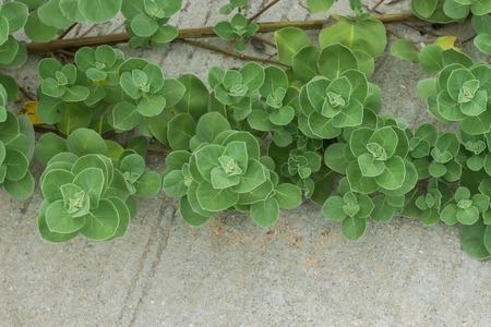 trifolia: Close up of Vitex trifolia Linn or Indian Privet plant. Stock Photo