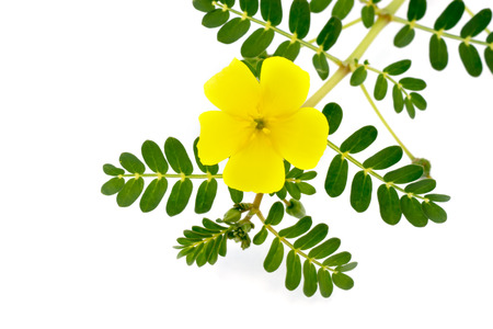Tribulus terrestris plant with flower and leaf on white backgroung.