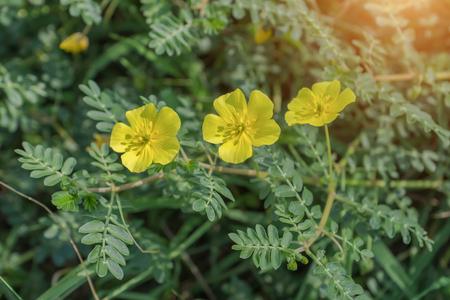 Yellow flowers of Tribulus terrestris plant.