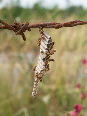 harassing: wasps nest on old barbed wire.