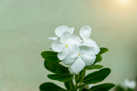 berros: Close up beautiful white vinca flower or watercress flower. Foto de archivo