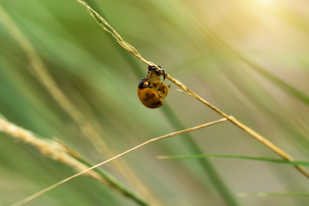 transverse: Transverse spotted Ladybug on flower grass. (Coccinella transversalis) Stock Photo