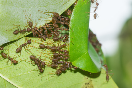WEAVER: The unity of the ant nest building.
