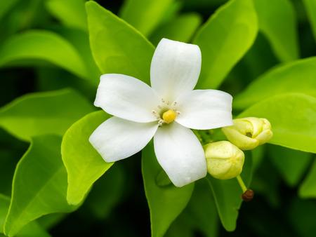 jessamine: White flower of Orange Jessamine, Satin-wood, Cosmetic Bark Tree, Murraya paniculata, Andaman satinwood, Chanese box tree, Orange jasmine, Satin wood, Murraya exotica Stock Photo
