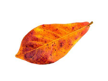 tannins: Close up orange leaf of Sea almond tree on white background.