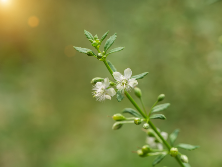White flower grass of Macao Tea, Sweet Broomweed. (Scoparia dulcis Linn)