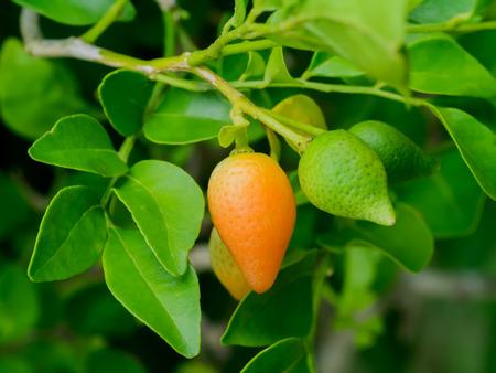 jessamine: Fruit of Orange Jessamine, Satin-wood, Cosmetic Bark Tree, Murraya paniculata, Andaman satinwood, Chanese box tree, Orange jasmine, Satin wood, Murraya exotica