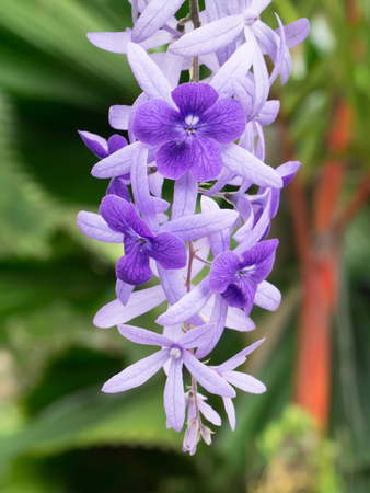 petrea: Violet flower of Petrea Flowers on tree. Stock Photo