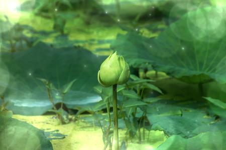 nelumbo nucifera: Green lotus flower blooming in the nature.