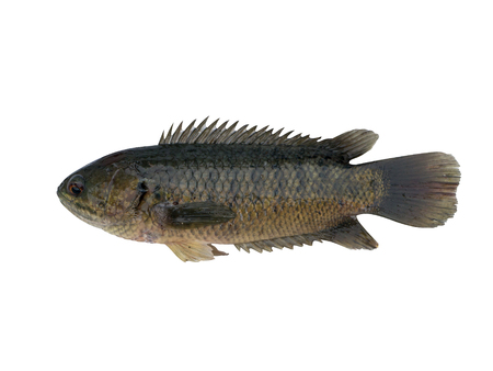 white perch: Climbing perch fish isolated on white background