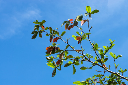 Tropical almond Tree after the autumn and new leaves are growing.