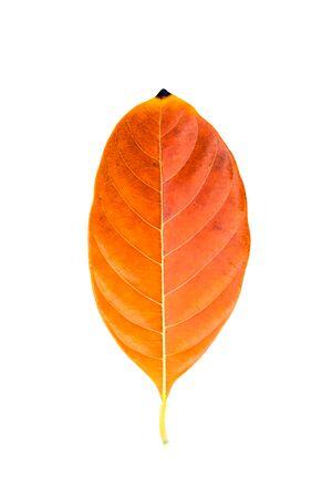 tannins: Close up orange leaf on white background. Stock Photo