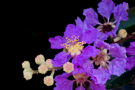 pers: Close up of Queens crape myrtle flower, Pride of India. (Lagerstroemia speciosa (L.) Pers.)