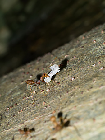 Macro of red ant to move larva close up on the ground in nature. Stock Photo