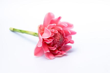 heliconiaceae: Pink flower of etlingera elatior plant. Stock Photo