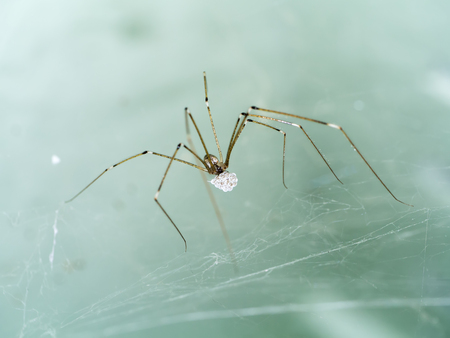 House spider long legs with eggs. Stock Photo