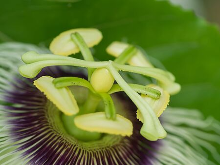 Close up of the Passion Fruit flower. (Passiflora edulis Sims) Stock Photo