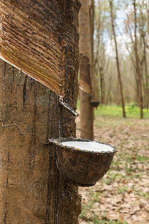 Schließen Sie herauf die frische Latexmilch der Gummibäume. Rohstoffe für die Gummiindustrie.
