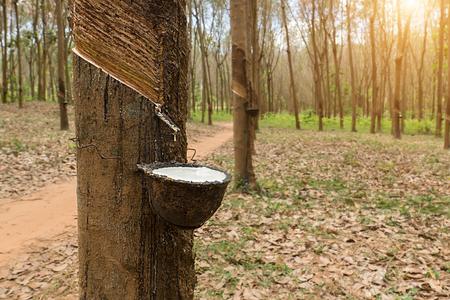 ゴム製木の新鮮な乳液ミルクを閉じます。ゴム産業の原料。 写真素材