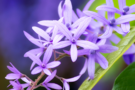 petrea: Violet Petrea Flowers in soft light Stock Photo