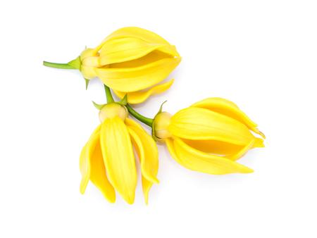 siamensis: Artabotrys siamensis flower on white background.