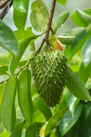 Soursop fruit on tree. (Annona muricata plant)