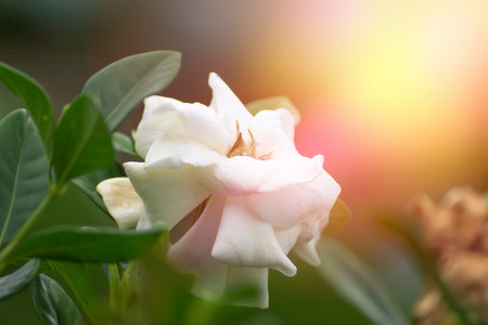 jessamine: White Cape Jasmine flower with yellow and pink light.