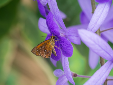 petrea: Brown butterfly and violet Petrea Flowers.