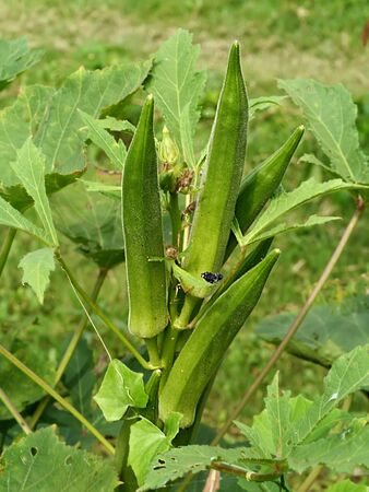 Okra plant. (Abelmoschus esculentus (L.) Moench )