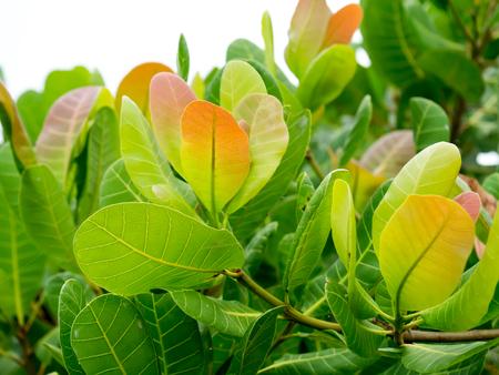 Leaf of Cashew Nut. (Anacardium occidentale)