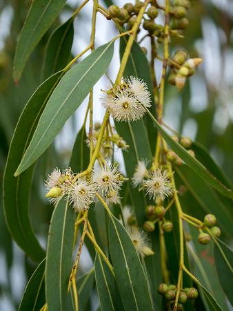Close up of Eucalyptus flower. (Eucalyptus globulus Labill.)