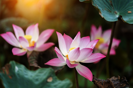 landscape: pink lotus flower are blooming in sunlight with green leaf.