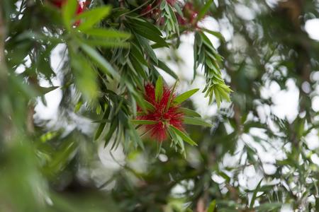 Weeping Bottle flower. (Callistemon Viminalis)
