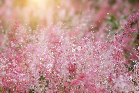 Out of focus image, blur and soft the pink flower grass with sunlight. (Natalgrass - Natal redtop Melinis repens) Stock Photo