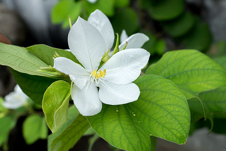 White Snowy Orchid flower. (Bauhinia acuminata plant) Stock Photo
