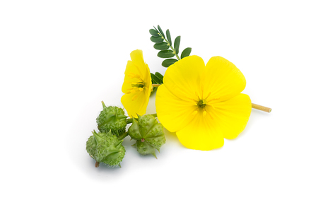 잎과 흰색 배경에 씨와 악마의 가시 (Tribulus terrestris 식물)의 노란색 꽃.