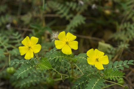 흰색 배경에 악마의 가시 (Tribulus terrestris 식물)의 노란색 꽃.